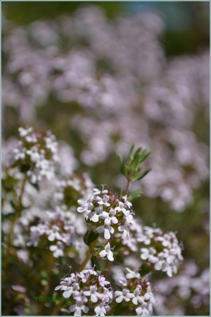 fleur de thym