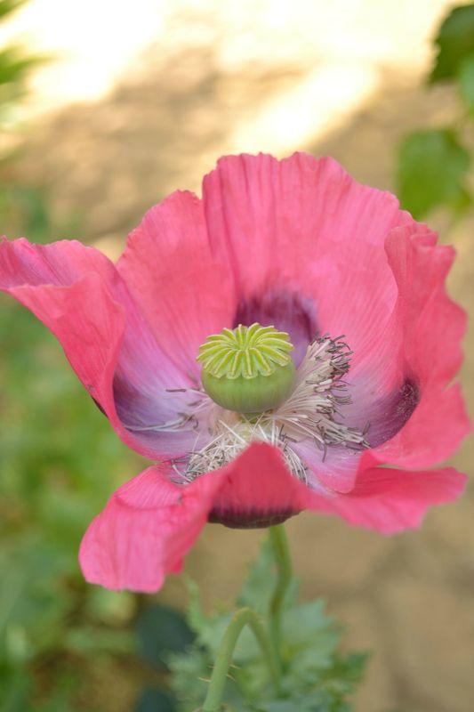 poppy in garden 2 pin